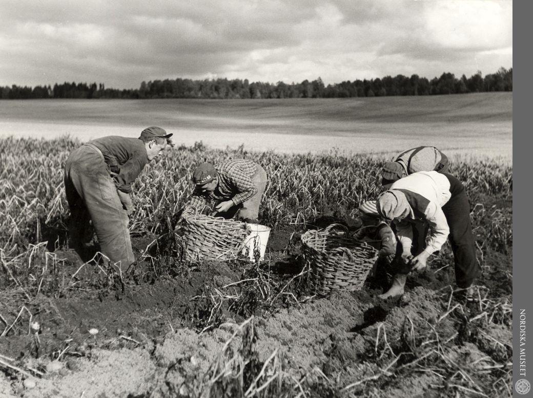 Potatisskörd Foto Nordiska museet