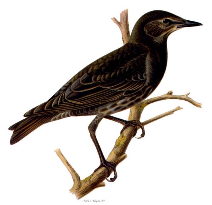 Stare, ur von Wrights Svenska fåglar