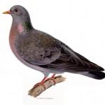 Skogsduva,  ur von Wrights Svenska fåglar