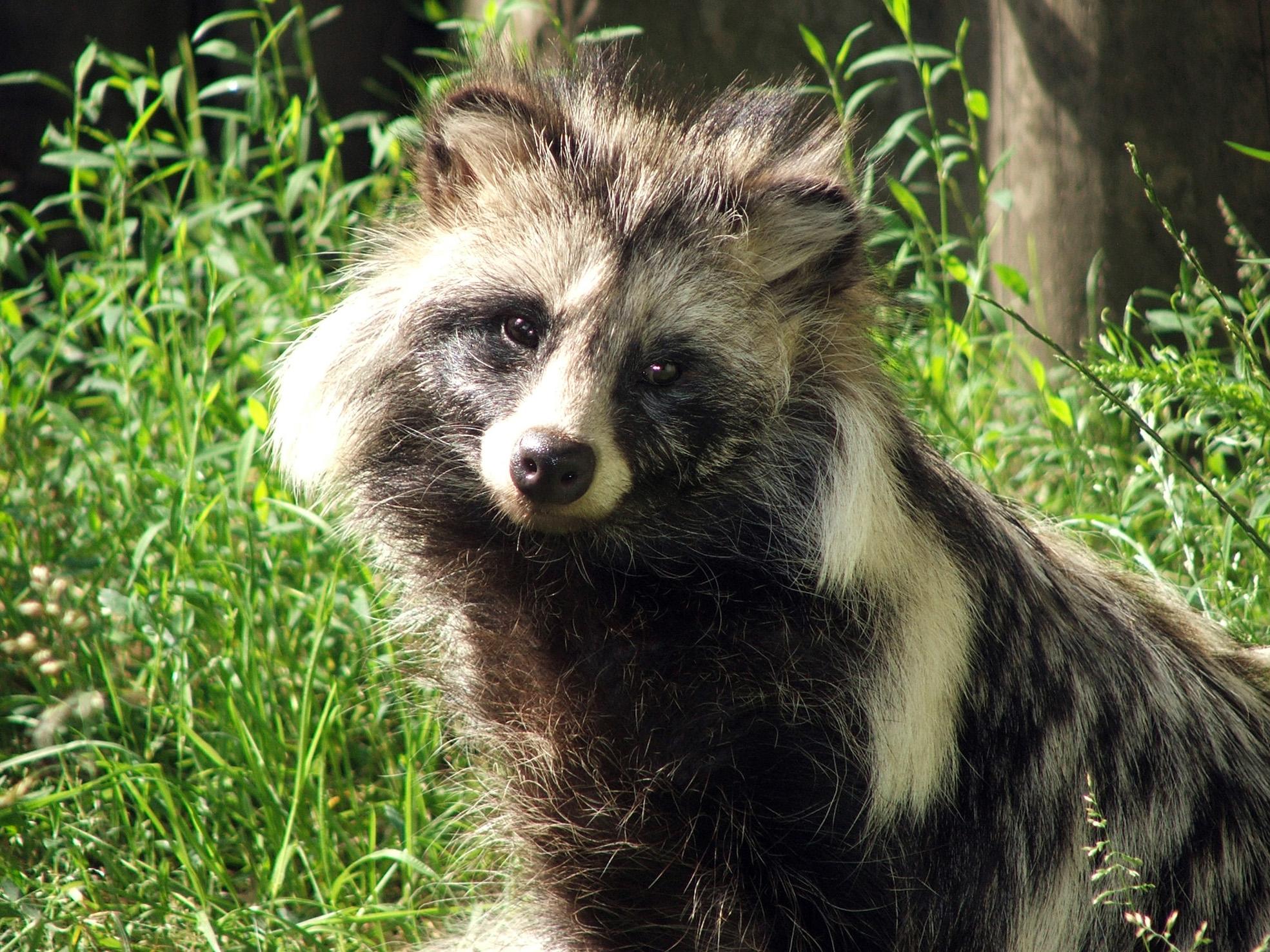 Mårdhund Foto: Piotr Kuczynski, Wikimedia Commons